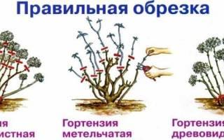 Обрезка гортензии