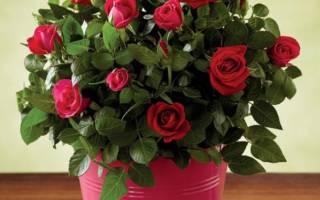 Комнатная роза уход в домашних условиях