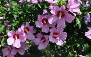 Когда цветет гибискус