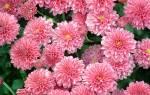 Почему не цветет хризантема в горшке