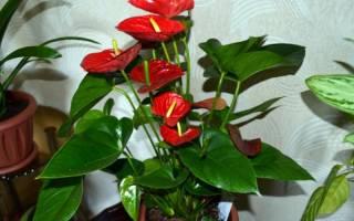 Какое комнатное растение приносит удачу и счастье