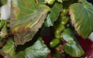 Почему сохнут листья у бегонии комнатной