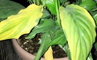 Почему у спатифиллума светлеют листья