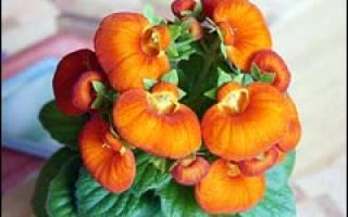 Кальцеолярия выращивание