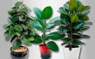 Фикус бенджамина сбрасывает листья что делать