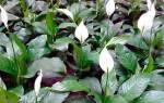 Как правильно посадить спатифиллум