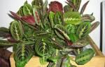 Почему у маранты скручиваются листья