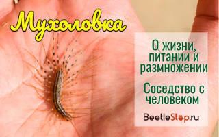 Как выглядит мухоловка