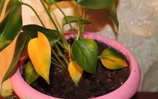 Почему желтеют листья у антуриума что делать