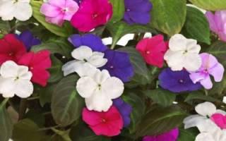 Цветок мокрый ванька уход