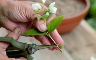 Как рассадить жасмин