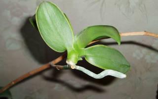 Как правильно отсадить детку орхидеи