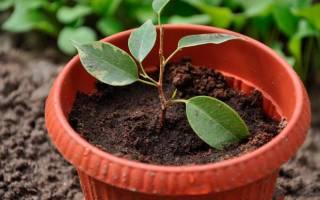 Как правильно посадить фикус