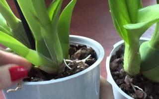 Сгнили корни у орхидеи что делать