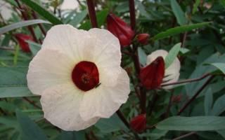 Гибискус суданская роза