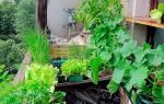Баклажаны на балконе выращивание