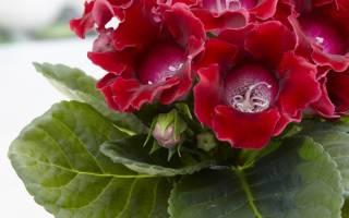 Глоксиния выращивание семенами