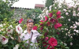 Цветок гибискус садовый