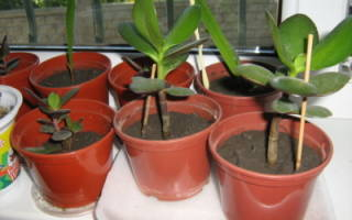 Как посадить отросток денежного дерева