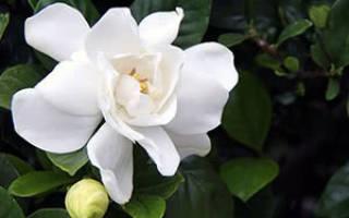 Почему не цветет гардения