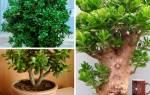 Толстянка или денежное дерево